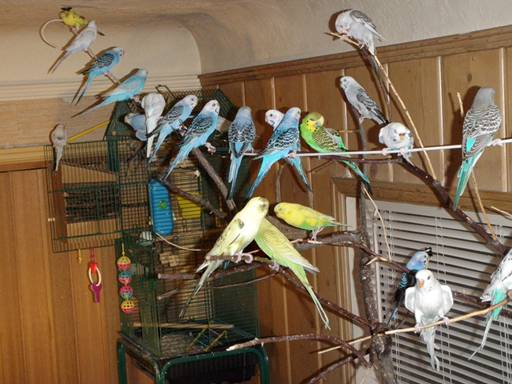2010June28FlockBudgies.jpg
