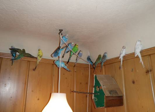 2010June28FlockBudgies2.jpg